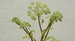 Angelica, medicine plant Stock Footage