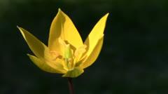Yellow tulip Stock Footage