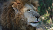 Stock Video Footage of Lion in a game park in Zimbabwe
