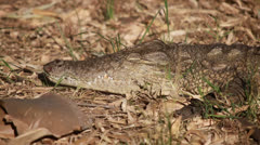 Crocodile in the Lion and Chitaah Park, Harare, Zimbabwe in Africa Stock Footage
