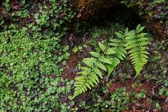 Ferns and Liverwort on Wet Sandstone Cliff Stock Photos