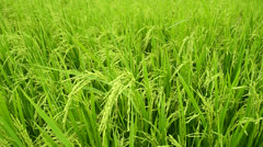 rice stalks - stock footage