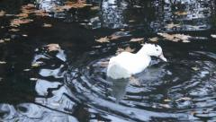 Stock Video Footage of ducks and reflections