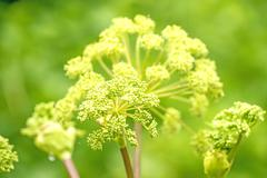 angelica medicine plant and food - stock photo