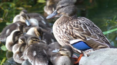 mallard duck and baby ducklings - stock footage