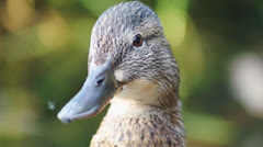A close up of little a brown duck Stock Footage