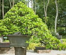 bonsai trees. - stock photo