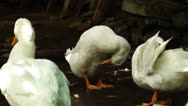 Stock Video Footage of White Peking Duck