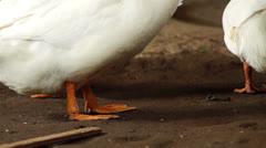 White Peking Duck feet Stock Footage