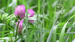 Pink flowers of clover - stock footage