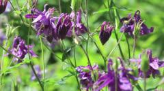 Violet flowers of aquilegia Stock Footage