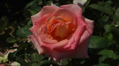 Salmon pink rose Stock Footage