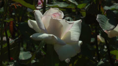 Very pale pink rose Stock Footage