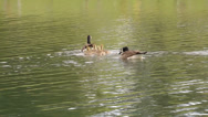 Stock Video Footage of Geese family swimming