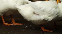 White Peking Duck Stock Footage