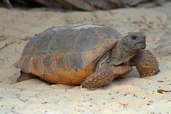 gopher tortoise (gopherus polyphemus) - stock photo