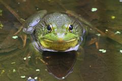 green frog (rana clamitans) in a pond - stock photo