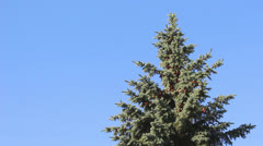 Green fir-tree with fir-cones - stock footage