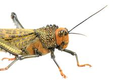 Big locust Stock Photos
