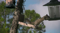 Squirrel Steals Seed from a Bird Feeder Stock Footage