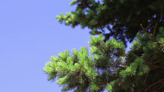 Branchs of young green fir-tree - stock footage