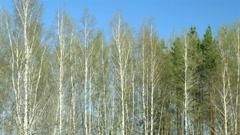 Birch trees. Stock Footage