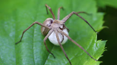 Nursery web Spider - Cocoon Stock Footage