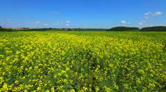 Field of rapeseed plant for green energy Stock Footage