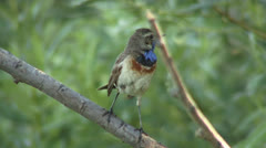 Blue-throated robin Stock Footage