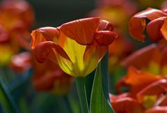 tulip - stock photo