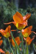 tulips - stock photo