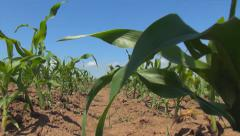 POV Walking in Corn Field, Agriculture Landscape, Farming, Harvest, Countryside Stock Footage