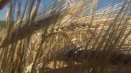 Stock Video Footage of POV Walking in Wheat, Stepping in Harvest Field, Agriculture, Farming, Cereals