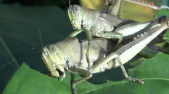 Grasshoppers close up Stock Footage