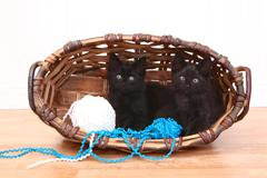 Curious kittens inside a basket on white Stock Photos