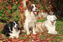 Three border collies in red leaves Stock Photos