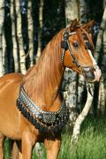 chestnut arabian stallion with perfect harness - stock photo