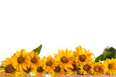 heliopsis - stock photo