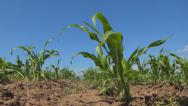 Stock Video Footage of POV Walking in Corn Field, Agriculture Landscape, Farming, Harvest