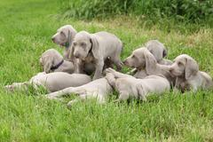 Group of weimaraner vorsterhund puppies together Stock Photos