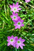 Pink rain lily Stock Photos