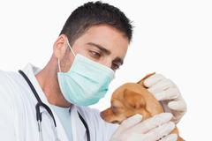 Male vet holding and examining the ear of a chihuahua Stock Photos