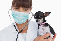 Stock Photo of Smiling vet with protective mask holding a chihuahua