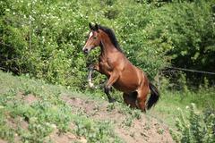 nice brown horse running uphill - stock photo