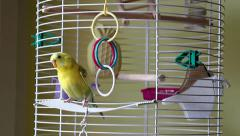 Budgie Parrot Goes Out Of His Cage Stock Footage
