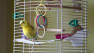 Stock Video Footage of Budgie Parrot Goes Out Of His Cage