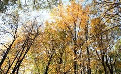 trees in autumn on sky background, spetember - stock photo
