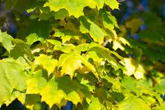 Yellow maple leafs on tree Stock Photos