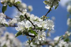 Apple flower at spring Stock Photos