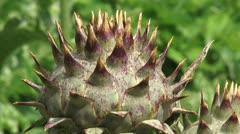 Cardoon, Cynara cardunculus - close up spiny bud Stock Footage